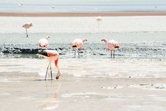 Pink flamingo in the lagoon in plateau Altiplano, Bolivia. Shallow depth of field Royalty Free Stock Photography