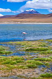 Pink flamingo in Laguna , Bolivia Royalty Free Stock Photos