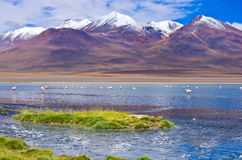 Pink flamingo in Laguna , Bolivia Royalty Free Stock Photography