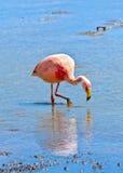 Pink flamingo in Laguna , Bolivia Royalty Free Stock Photo