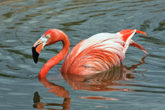 Pink flamingo on water of lake Royalty Free Stock Photos