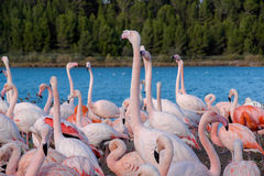 Pink flamingo on the lake Stock Images