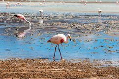 Pink flamingo in Lake , Bolivia Royalty Free Stock Photos