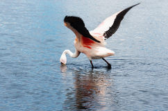 Pink flamingo in Lake  ,  Bolivia Royalty Free Stock Photo