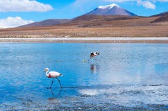 Pink flamingo in Lake  ,  Bolivia Royalty Free Stock Image