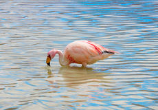 Pink flamingo in Lake  ,  Bolivia Royalty Free Stock Photography