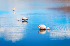 Pink flamingo in Lake Hedionda , Bolivia Royalty Free Stock Images