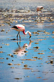 Pink flamingo in Lake Hedionda , Bolivia Stock Photos