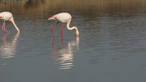 Pink flamingo on lake,phoenicopterus, beautiful white pinkish bird in pond, aquatic bird in its environment,Africa,wildlife scene. Bird feeding in water,exotic stock video
