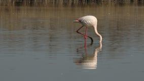 Pink flamingo on lake,phoenicopterus, beautiful white pinkish bird in pond, aquatic bird in its environment,Africa,wildlife scene. Bird feeding in water,exotic stock video footage