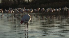 Pink flamingo on lake,phoenicopterus, beautiful white pinkish bird in pond, aquatic bird in its environment,Africa,wildlife scene. Bird grooming and cleaning stock video