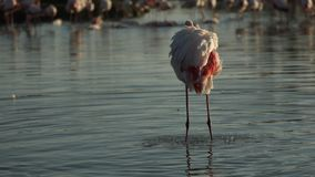 Pink flamingo on lake,phoenicopterus, beautiful white pinkish bird in pond, aquatic bird in its environment,Africa,wildlife scene. Bird grooming and cleaning stock video footage