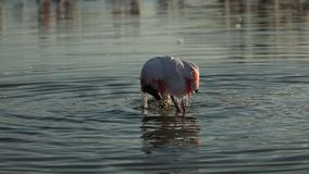 Pink flamingo on lake,phoenicopterus, beautiful white pinkish bird in pond, aquatic bird in its environment,Africa,wildlife scene. Bird grooming and cleaning stock footage