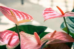 Pink Flamingo Lilies Anthurium sonate Royalty Free Stock Photography