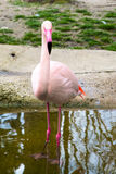 Pink flamingo looking at camera Stock Image