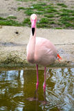 Pink flamingo looking at camera Stock Photos