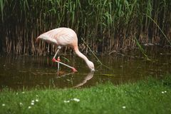 Pink flamingo is looking for food in the water. royalty free stock photography