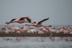 Pink Flamingo. Namibia, Valvis Bay, February 22, 2016. Flight of Pink Flamingos above sea surface Stock Image
