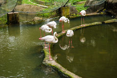 Pink flamingo in nature park Royalty Free Stock Photography