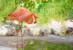 Pink flamingo. Stock Photography