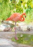 Pink flamingo. Royalty Free Stock Photography