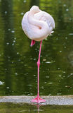 Pink flamingo on one foot Royalty Free Stock Photography