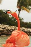 Pink flamingo. With open beak for vocalizing, Renaissance private island, Aruba, Caribbean Royalty Free Stock Image