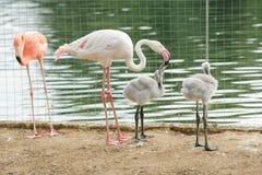 Pink flamingo Phoenicopterus roseus feeding chicks Stock Image