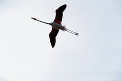 Pink flamingo (Phoenicopterus roseus) flying Royalty Free Stock Photos