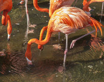 pink flamingo phoenicopterus ruber Stock Photo
