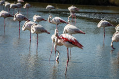 Pink Flamingo (Phoenicopterus ruber) in Camargue, France Royalty Free Stock Photo