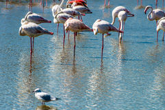 Pink Flamingo (Phoenicopterus ruber) in Camargue, France Royalty Free Stock Photography