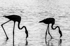 Pink Flamingo (Phoenicopterus ruber) in Camargue, France Stock Photo