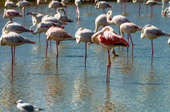 Pink Flamingo (Phoenicopterus ruber) in Camargue, France Royalty Free Stock Image