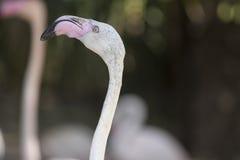 Pink flamingo Phoenicopterus ruber roseus Royalty Free Stock Photography