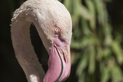 Pink flamingo Phoenicopterus ruber roseus Royalty Free Stock Photo