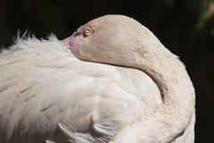 Pink flamingo Phoenicopterus ruber roseus Royalty Free Stock Images