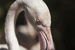 Pink flamingo Phoenicopterus ruber roseus Stock Photos