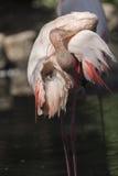 Pink flamingo Phoenicopterus ruber roseus Stock Image