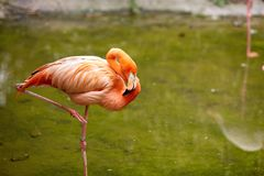 Pink flamingo Stock Images