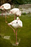 Pink flamingo Stock Photography