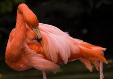 Pink flamingo. At Denver zoo, USA royalty free stock photo