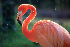 Pink flamingo. In the zoo.n royalty free stock photos