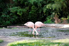 Pink flamingo in a pond Royalty Free Stock Images
