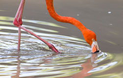 Pink flamingo on a pond in nature Royalty Free Stock Photo