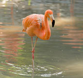 Pink flamingo on a pond in nature Stock Image