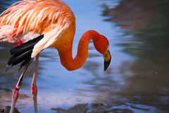 Pink flamingo on a pond in nature Royalty Free Stock Photography