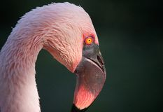 Pink Flamingo Portrait Stock Photography