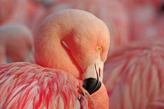 Pink flamingo. Portrait of a greater pink flamingo Stock Photo