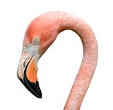 Pink Flamingo Portrait Isolated on White Royalty Free Stock Photography
